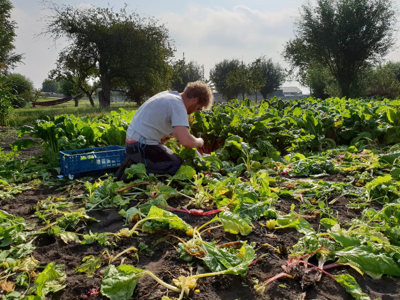 snijbieten oogsten bij bij Chris Kempenaar in Leimuiden