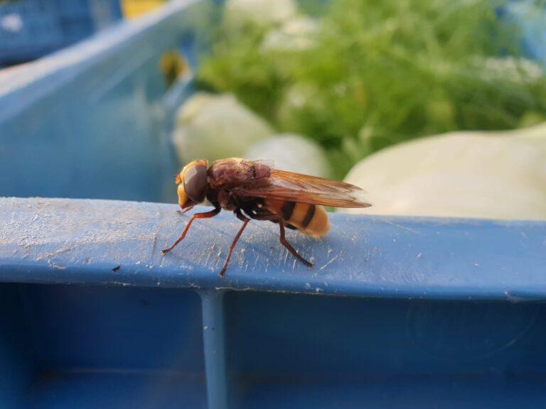 Thumbnail voor het recept: Groenten en insecten groeien en bloeien aardig door